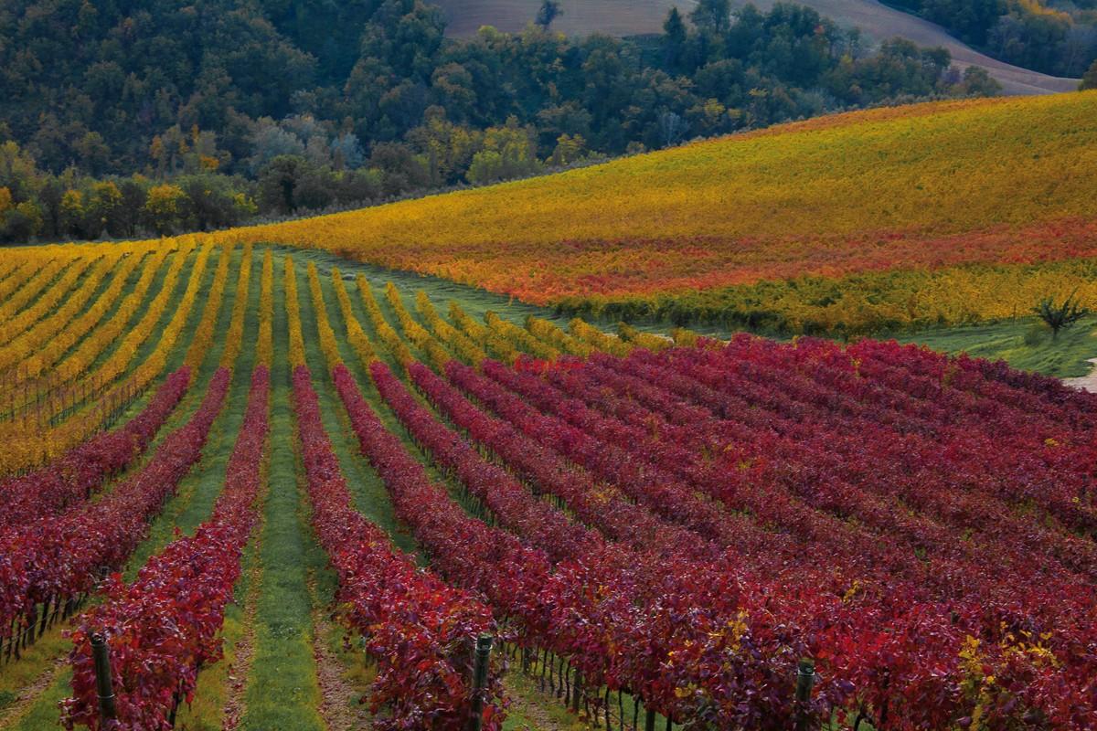 Le vigne del Conventino di Monteciccardo - ph Lorenzo Di Loreto